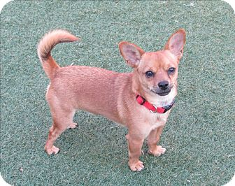 Chihuahua Mix Dog for adoption in Norwalk, Connecticut - Jerry