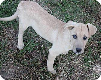 Labrador Retriever Mix Dog for adoption in Nixa, Missouri - Bronco # 954