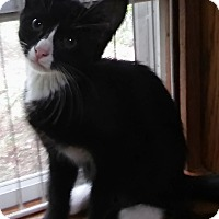 Domestic Shorthair Cat for adoption in Witter, Arkansas - Albert (3-month boy)