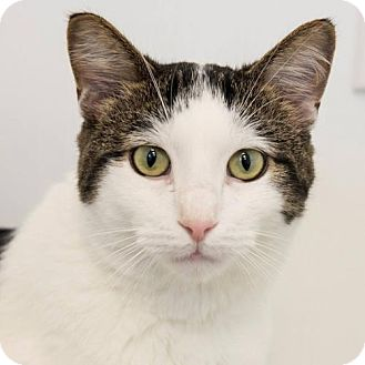 Domestic Shorthair Cat for adoption in St. Paul, Minnesota - Emmett