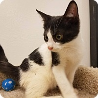Domestic Shorthair Kitten for adoption in Colonial Heights, Virginia - Goth
