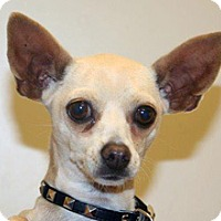 Chihuahua Mix Dog for adoption in Wildomar, California - Brigette