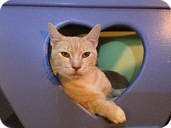 Domestic Shorthair Cat for adoption in Oyster Bay, New York - Clementine