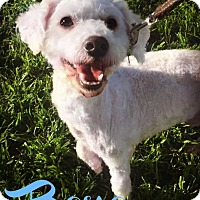 Adopt A Pet :: BONO - Phoenix, AZ