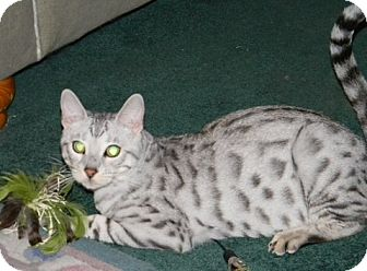 Bengal Cat for adoption in Davis, California - Silver
