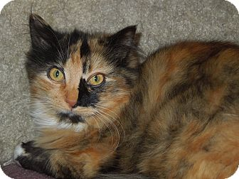 Domestic Mediumhair Cat for adoption in Medina, Ohio - Lily Bean