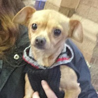 Adopt A Pet :: Papi Chi - Porter Ranch, CA