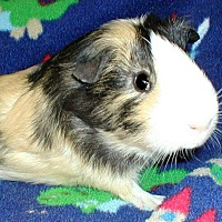 Adopt A Pet :: BoJangles - Steger, IL