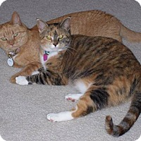 Adopt A Pet :: Two Kitties - Chesterfield, VA