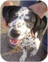 Dalmatian/Labrador Retriever Mix Dog for adoption in Mesa, Arizona - Cristo