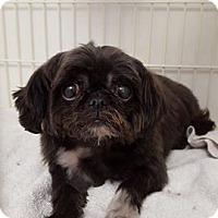 Adopt A Pet :: Gidget - Troy, MI