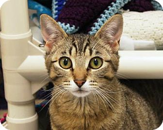 Domestic Shorthair Cat for adoption in Bellevue, Washington - Ava