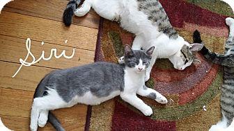 Domestic Shorthair Kitten for adoption in Middletown, Ohio - Siri