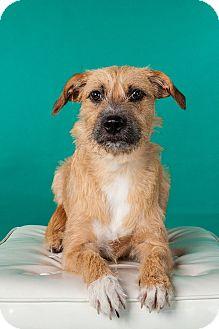 Norfolk Terrier/Border Terrier Mix Dog for adoption in Houston, Texas - Winnie