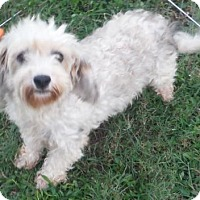 Havanese Dog for adoption in Alpharetta, Georgia - Buttons
