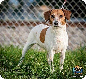 Beagle Mix Dog for adoption in Evansville, Indiana - Lacy