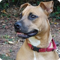 Rhodesian Ridgeback/Black Mouth Cur Mix Dog for adoption in Woodstock, Georgia - Raven