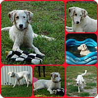 Shepherd (Unknown Type)/Setter (Unknown Type) Mix Dog for adoption in Davenport, Florida - Nico