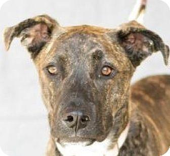 Labrador Retriever/American Pit Bull Terrier Mix Puppy for adoption in Modesto, California - Sasha