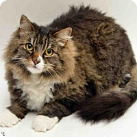 Maine Coon Cat for adoption in San Francisco, California - BAILEY