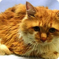 Maine Coon Cat for adoption in NYC, New York - Mason Dixie MC