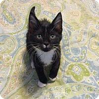 Adopt A Pet :: Boots - Topeka, KS