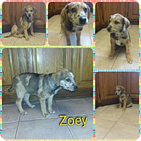 Adopt A Pet :: Zoey meet me 1/20 - Manchester, CT