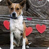 Adopt A Pet :: Addy - New Milford, CT