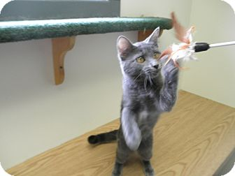 Domestic Mediumhair Kitten for adoption in Milwaukee, Wisconsin - Foxey Baby