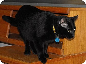 Domestic Shorthair Cat for adoption in Grand Rapids, Michigan - Dr. Pepper