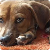 Adopt A Pet :: Bella Bee - san diego, CA