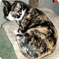 Calico Cat for adoption in Columbus, Ohio - Buttercup