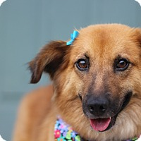 Adopt A Pet :: Cassie *Adoption Pending* - Romeoville, IL