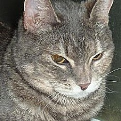 Photo 2 - Calico Cat for adoption in Phoenix, Arizona - Polly Pocket