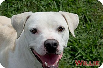 Pit Bull Terrier/Labrador Retriever Mix Dog for adoption in Livingston, Louisiana - Willie