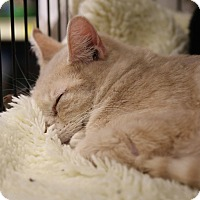 Domestic Shorthair Cat for adoption in Gainesville, Virginia - Poco