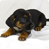 Adopt A Pet :: Fedora - Brunswick, ME