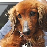 Adopt A Pet :: Sophie - Dallas, TX