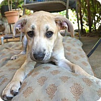 Adopt A Pet :: Barbie - Helotes, TX