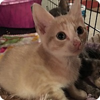 Adopt A Pet :: Caramello - Mount Laurel, NJ