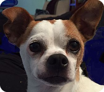 Chihuahua/Pug Mix Dog for adoption in St Louis, Missouri - Roscoe