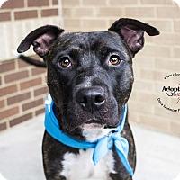 Adopt A Pet :: Zado - Mooresville, NC