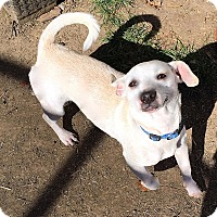 Adopt A Pet :: Linus - Normal, IL