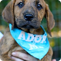Bloodhound/Black and Tan Coonhound Mix Puppy for adoption in West Grove, Pennsylvania - Bo
