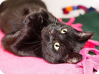 Domestic Shorthair Cat for adoption in Seville, Ohio - Joyce