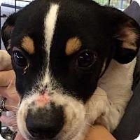 Hound (Unknown Type) Puppy for adoption in Boston, Massachusetts - Rookie