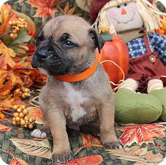 Boxer/German Shepherd Dog Mix Puppy for adoption in East Dover, Vermont - Finn - PENDING