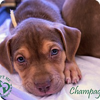 Adopt A Pet :: Champagne - Newport, KY