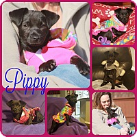 Adopt A Pet :: Pippy - Ft Worth, TX