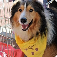 Sheltie, Shetland Sheepdog Dog for adoption in Charlottesville, Virginia - Fergus